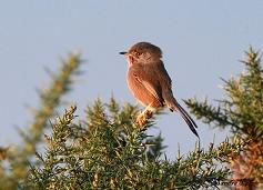 male Dartford warbler on gorse photo