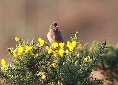 male Dartford warbler on gorse