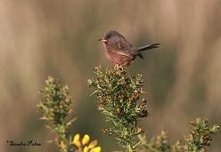 Dartford warbler 2014