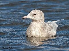 Iceland Gull bird