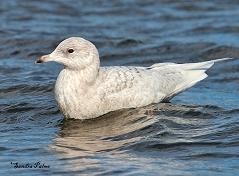 Iceland Gull Pagham Lagoon