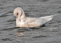 Iceland gull preening