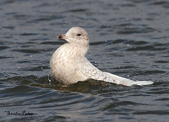Iceland gull bathing