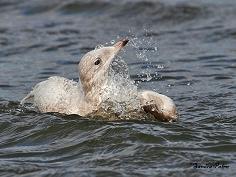 Iceland gull having a bath