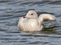 1st winter Iceland gull Sussex