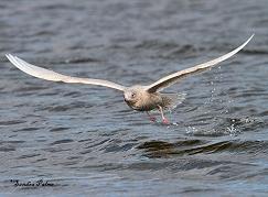 Iceland gull flight photo