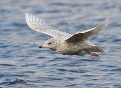 Iceland gull in flight photo