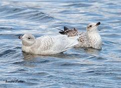 Iceland gull and herring gull