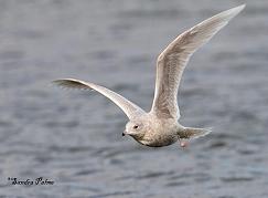 Iceland Gull flying