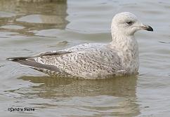 Kumlien's Gull Littlehampton