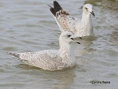 Kumlien's Gull and Herring Gull