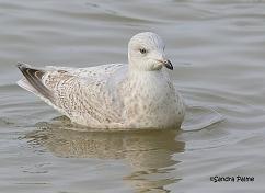 Kumlien's Gull West Sussex 2015