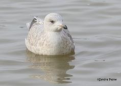 Kumlien's Gull photo