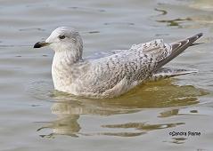 Kumlien's Gull juvenile