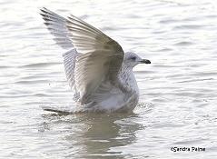 Kumlien's Gull having a wash