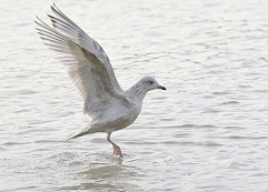 Kumlien's Gull wings