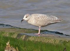 Kumlien's Gull Larus glaucoides kumlieni