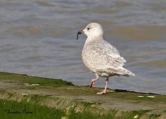 Kumlien's Gull Larus glaucoides kumlieni bird