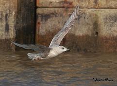 Larus glaucoides kumlieni bird