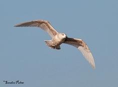 Kumlien's Gull in flight