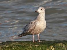Kumlien's Gull Littlehampton 2014