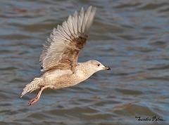 Kumlien's Gull in flight photo