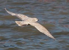 Kumlien's Gull flying