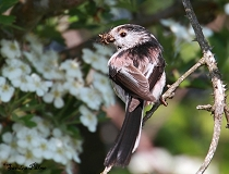 long-tailed tit with insects