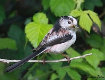 long-tailed tit with insects photo