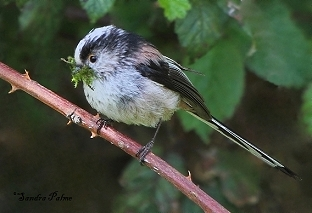 Long-Tailed Tit with nesting material