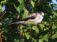 long-tailed tit photo