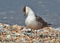long-tailed skua photo
