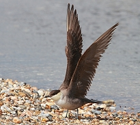 Long-tailed skua stretching wings