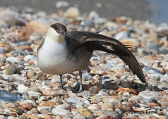 juvenile Long-tailed skua seabird