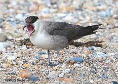 long-tailed skua Stercorarius longicaudus bird