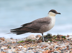 juvenile Long-tailed skua