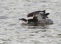 Slavonian grebe wing-stretching
