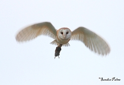 barn owl in flight photo