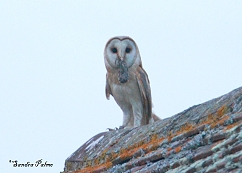 barn owl on roof
