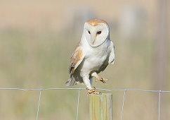 male barn owl Tyto alba