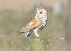 barn owl Sussex