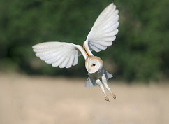 flying barn owl