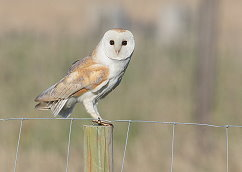 male barn owl