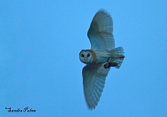 barn owl at twighlight