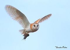barn owl in flight with vole