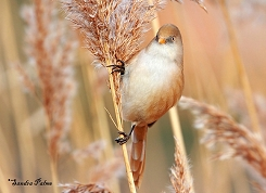 bearded tit Hyde Park London