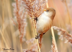 bearded tit on phragmites