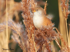 bearded reedling
