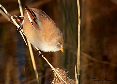 female bearded tit bird