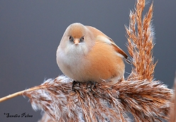 female bearded tit photo